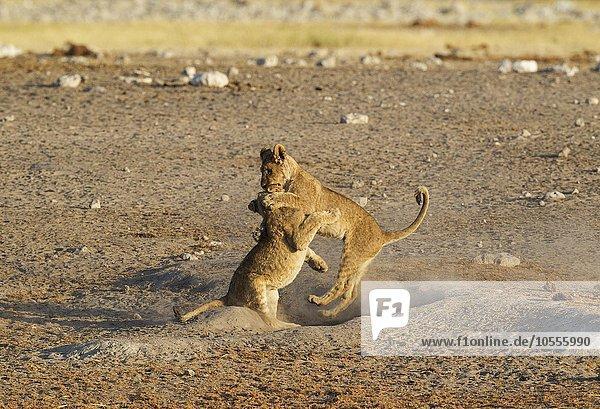 Lions (Panthera leo)  two playful cubs near waterhole  Etosha National Park  Namibia  Africa