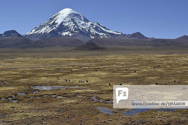 Sajama Volcano and llamas (Lama glama)  Sajama National Park  Oruro  border between Bolivia and Chile