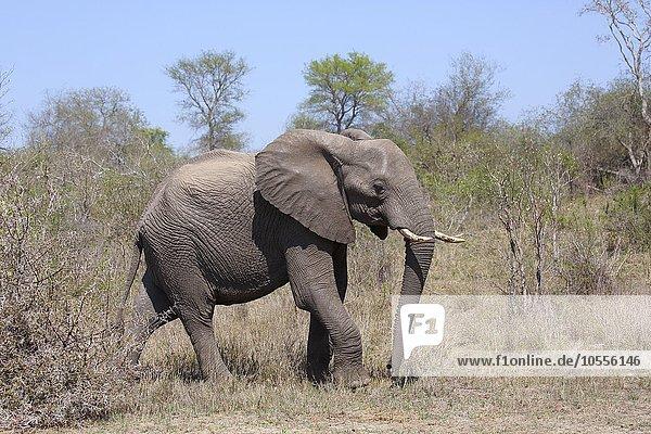 Afrikanischer Elefant (Loxodonta africana) im Buschland  adult  Krüger-Nationalpark  Südafrika
