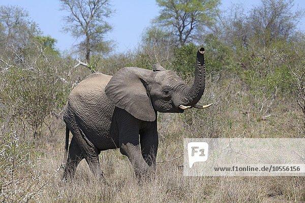 Afrikanischer Elefant (Loxodonta africana) im Buschland  Jungtier  Krüger-Nationalpark  Südafrika