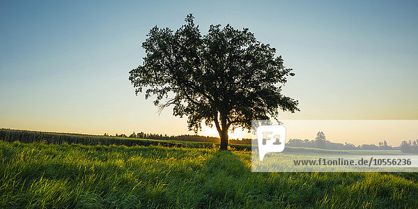 Alte Stieleiche (Quercus robur)  Schwäbische Alb  Baden-Württemberg  Deutschland  Europa Alte Stieleiche (Quercus robur), Schwäbische Alb, Baden-Württemberg, Deutschland, Europa
