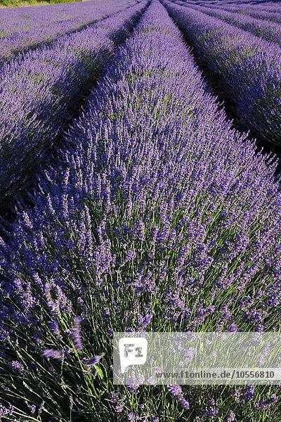 Lavender field (Lavandula angustifolia) on the Plateau des Claparédes  Vaucluse  Provence  France  Europe