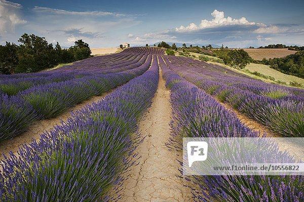 Lavender (Lavandula angustifolia) field  chapel  Alpes-de-Haute-Provence  Provence  Provence-Alpes-Côte d'Azur  France  Europe