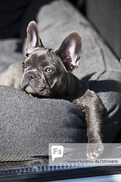 Französische Bulldogge  Welpe  blau  liegt im Hundebett  Österreich  Europa