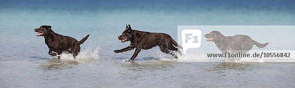Labrador  braun  läuft im Wasser  Österreich  Europa