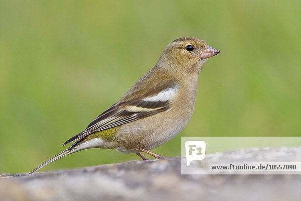 Buchfink (Fringilla coelebs)  Weibchen am Boden  Kampanien  Italien  Europa