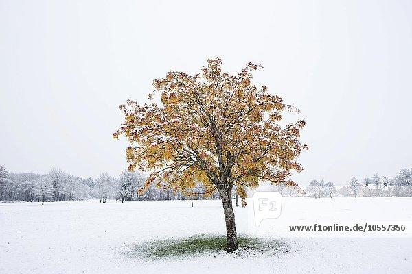 Ahorn  Berg-Ahorn (Acer pseudoplatanus) mit Herbstlaub und dem ersten Schnee des Winters  Aberfeldy  Perth and Kinross  Schottland  Großbritannien  Europa