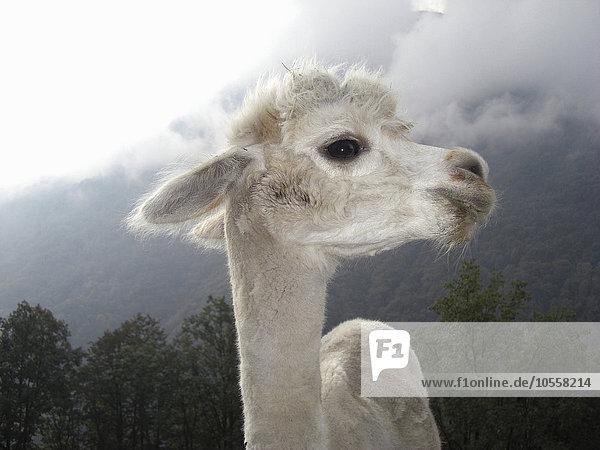Lama Lama buanicoe glama nahe stehend Berg Close-up close-ups close up close ups Lama,Lama buanicoe glama,nahe,stehend,Berg,Close-up,close-ups,close up,close ups