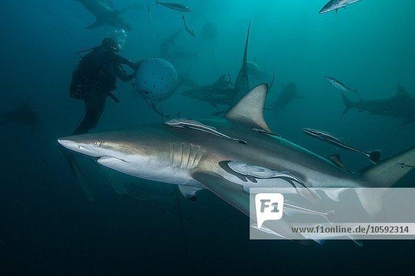 Taucher und Ozeanische Schwarzspitzenhaie (Carcharhinus limbatus) versammeln sich in Aliwal Shoal  Durban  Südafrika.