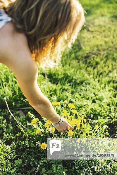 Hoher Winkel über der Schulteransicht einer jungen Frau,  die Löwenzahnblüten pflückt.