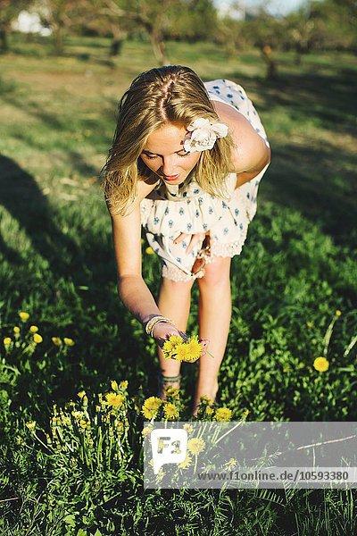 Vorderansicht einer jungen Frau  die sich über das Pflücken von Löwenzahnblüten beugt.
