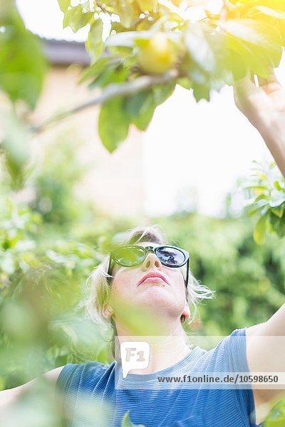 Vorderansicht einer reifen Frau  die im Obstgarten Pflaumen pflücken will. Vorderansicht einer reifen Frau, die im Obstgarten Pflaumen pflücken will.