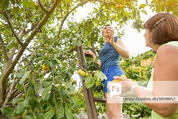 Low angle view of senior woman and daughter picking plums in orchard