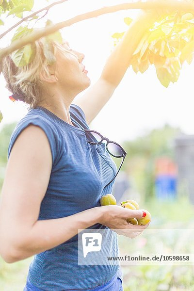Frau pflückt Pflaumen vom Baum im Sonnenlicht