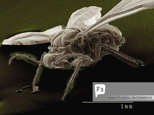Farbiges REM von geflügelten erwachsenen Blattläusen
