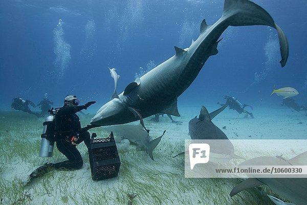 Underwater view of diver holding upside down tiger shark  Northern Bahamas Banks  Bahamas
