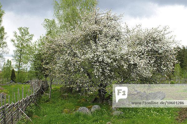 Baum blühen Apfel