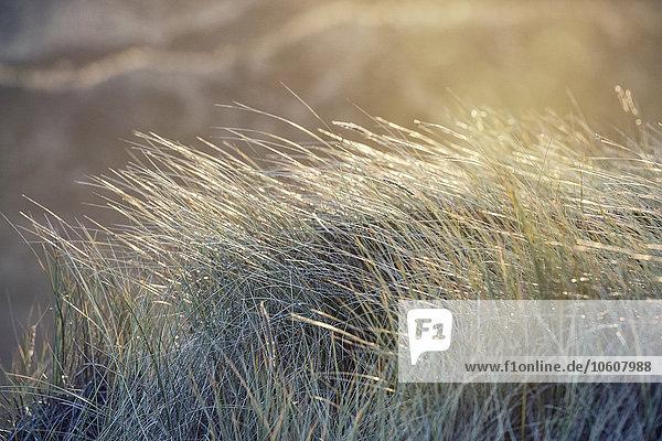 Dünengräser im Sonnenlicht  Sylt  Schleswig-Holstein  Deutschland  Europa