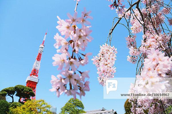 Tokyo Hauptstadt Kirsche blühen voll