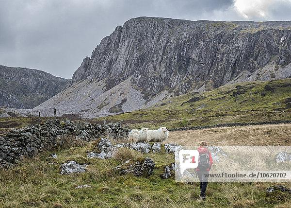 UK  Wales  Cadair Idris  Cyfrwy Arete  Frau beim Wandern auf Schafweide