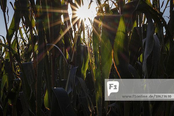 Maispflanzen auf einem Feld im Gegenlicht
