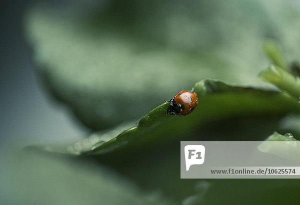 Wet ladybug on a leaf