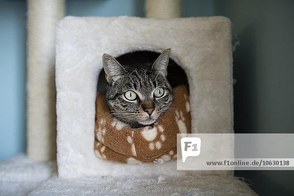 Tabby-Katze  die zu Hause den Kopf in sein Versteck steckt Tabby-Katze, die zu Hause den Kopf in sein Versteck steckt