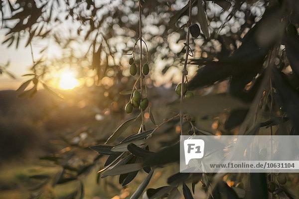 Italien  Toskana  Maremma  Olivenbaum bei Sonnenuntergang