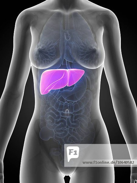 Female liver  artwork