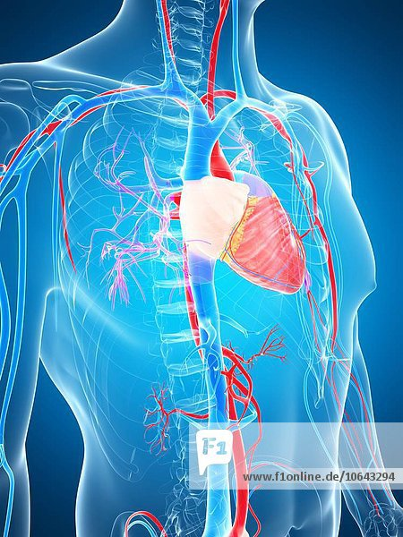 Human vascular system  artwork