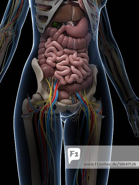 Female intestinal anatomy  artwork