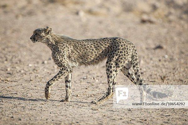 Gepard (Acinonyx jubatus) geht  Kgalagadi-Transfrontier-Nationalpark  Nordkap Provinz  Südafrika