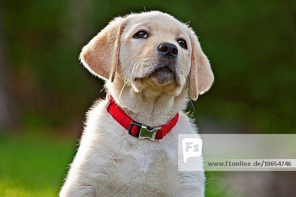 hoch oben sitzend Portrait sehen gelb Labrador Gras Retriever 10 alt Welpe Woche