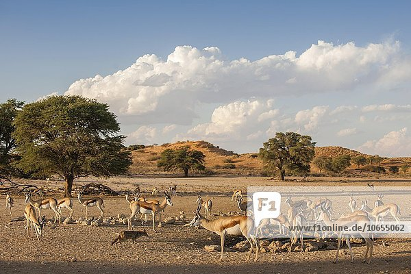 Springböcke (Antidorcas marsupialis)  Herde an einem Wasserloch  Kgalagadi-Transfrontier-Nationalpark  Nordkap Provinz  Südafrika