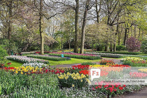 Beautiful blooming flowers in the famous Keukenhof  The Netherlands  Europe
