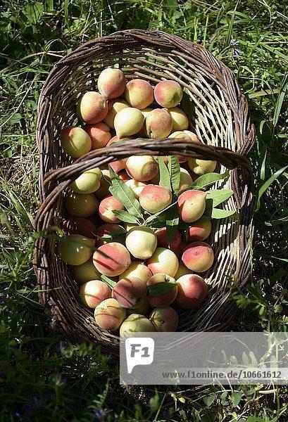 Reife Pfirsiche (Prunus persica) bei der Ernte in einem Korb  ökologische Landwirtschaft  Cangucu  Rio Grande do Sul  Brasilien  Südamerika