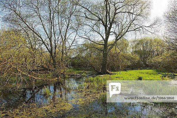 Weichholzaue mit Weiden (Salix spec.) im Frühjahr  Naturschutzgebiet Drömling  Niedersachsen  Deutschland  Europa