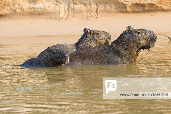 Capybaras  Wasserschweine (Hydrochaeris hydrochaeris) im Wasser  Pantanal  Mato Grosso  Brasilien  Südamerika