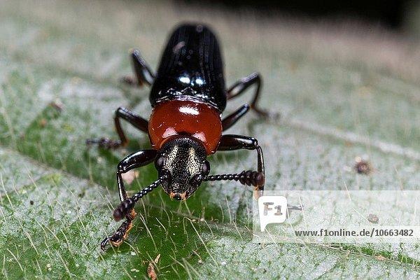 Fotografie nehmen Käfer Malaysia Sarawak