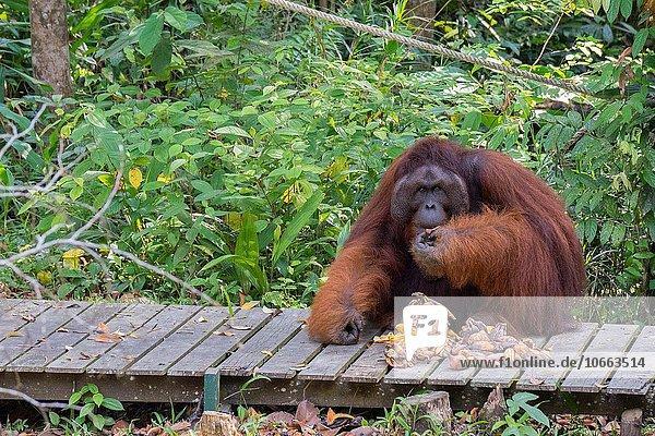 Orang utan  Semenggoh Wildlife Centre  Sarawak  Malaysia.