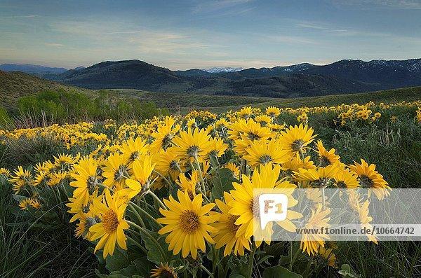 Methow Valley wildflowers  Balsamroot (Balsamorhiza deltoidea)  North Cascades Washington.