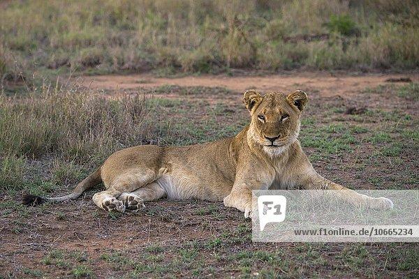 Lioness (Panthera leo)  Sabi Sands Game Reserve  Sabi Sabi Bush Lodge  South Africa  Africa