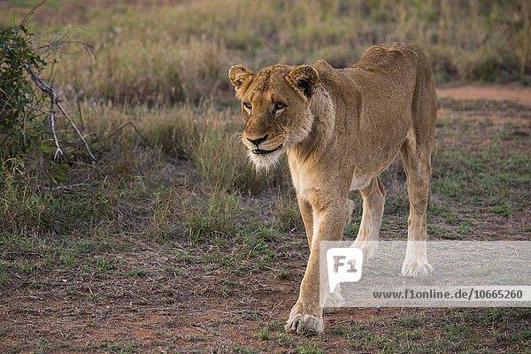 Lioness (Panthera leo) walking  Sabi Sands Game Reserve  Sabi Sabi Bush Lodge  South Africa  Africa
