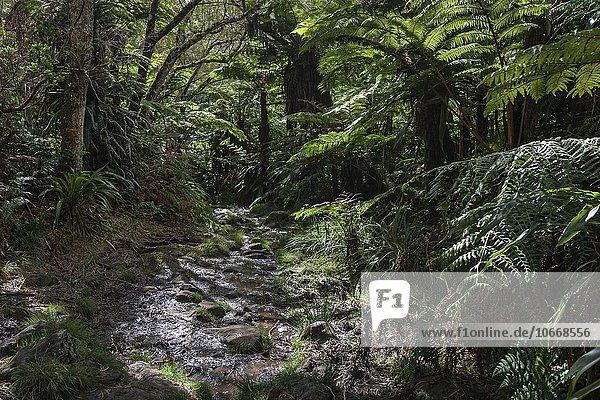 wanderweg tropischer regenwald forêt de bélouve urwald