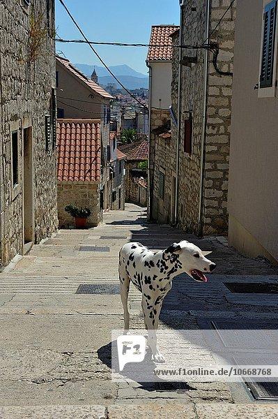 führen Hügel Hund Trennung Dalmatiner Kroatien