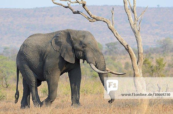 Afrikanischer Elefant (Loxodonta africana)  Bulle  im trockenen Grasland  Krüger-Nationalpark  Südafrika