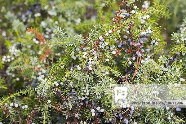 Gemeiner Wacholder (Juniperus communis) mit Beeren  Darß  Fischland-Darß-Zingst  Nationalpark Vorpommersche Boddenlandschaft  Mecklenburg-Vorpommern  Deutschland  Europa