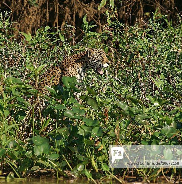 Jaguar (Panthera onca) am Fluss  Pantanal  Mato Grosso  Brasilien  Südamerika