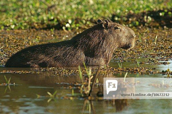 Capybara,  Wasserschwein (Hydrochoerus hydrochaeris) steht im Wasser,  Pantanal,  Mato Grosso,  Brasilien,  Südamerika