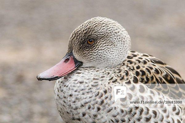 Kapente  auch Fahlente (Anas capensis)  Slimbridge Wetlands Centre  Gloucestershire  Großbritannien  Europa